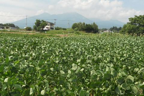 八ヶ岳の麓で大豆を作ってます